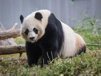 Giant Panda Mei Xiang. Photo Skip Brown, Smithsonians National Zoo
