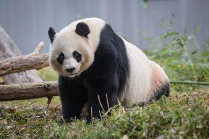 Giant Panda Mei Xiang. Photo Skip Brown, Smithsonians National Zoo