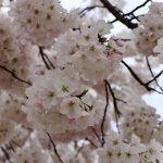 Places to see the Cherry Blossoms that are Not the Tidal Basin