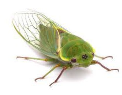 Be a part of Capitol Hill cicada tracking 2013